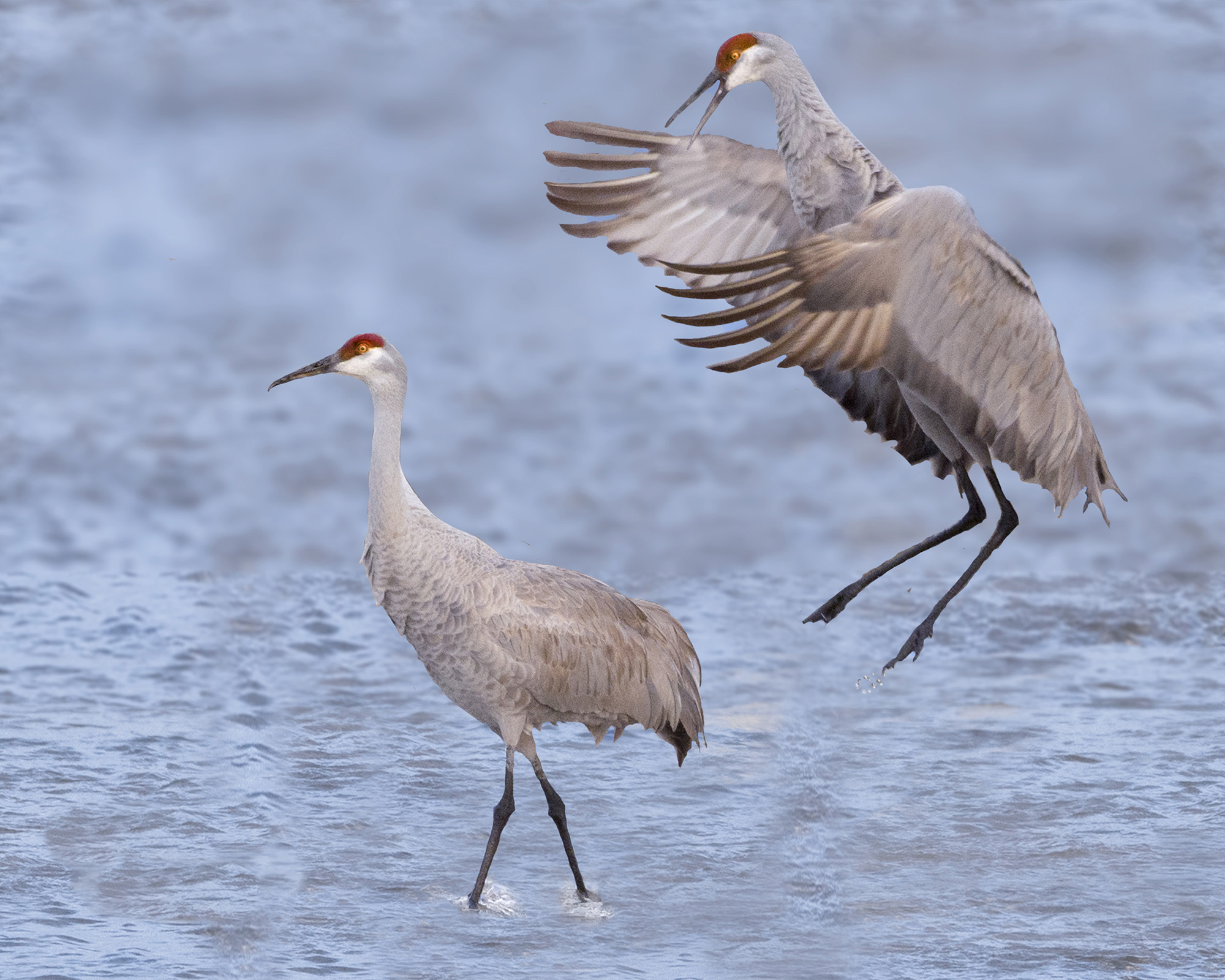 Photograph of a crane leaping at another crane behind its back
